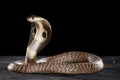 Cobra na tabela Imagem de Stock Royalty Free
