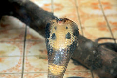 COBRA NAJA Royalty Free Stock Photo