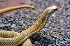 Cobra Naja tripudians Bezit de capaciteit in het geval van gevaar om de ribben apart te bewegen, vormt een soort kap royalty-vrije stock fotografie