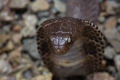Cobra nell'azione Fotografia Stock Libera da Diritti