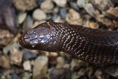 Cobra nell'azione Fotografia Stock