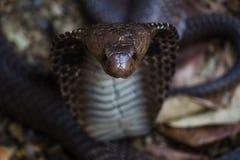 Cobra nell'azione Immagini Stock