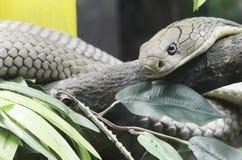 Cobra real Fotos de archivo libres de regalías