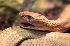 Cobra real Imagen de archivo libre de regalías