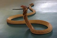Cobra real en la demostración de la serpiente, Imagen de archivo libre de regalías