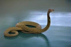 Cobra real en la demostración de la serpiente, Fotos de archivo libres de regalías