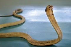 Cobra real en la demostración de la serpiente Fotografía de archivo