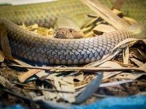 Cobra real encrespada en la arena Fotografía de archivo libre de regalías