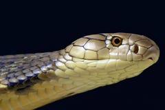 Cobra real (Ophiophagus Hannah) Foto de archivo