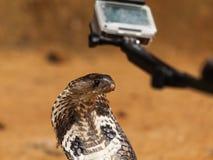 Cobra real (Ophiophagus Hannah) Fotografía de archivo libre de regalías