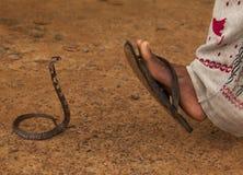 Cobra real (Ophiophagus Hannah) Imagen de archivo libre de regalías