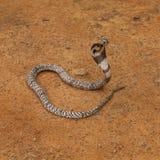 Cobra real (Ophiophagus Hannah) Fotos de archivo libres de regalías