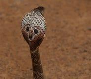 Cobra real (Ophiophagus Hannah) Fotografía de archivo