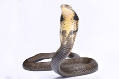 Cobra real, Ophiophagus Hannah Imagen de archivo libre de regalías