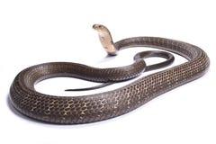 Cobra real, Ophiophagus Hannah Foto de archivo libre de regalías