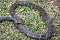 Cobra real venenosa de la serpiente en la India Fotos de archivo libres de regalías