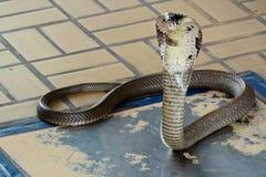 Cobra Siamese Imagens de Stock Royalty Free
