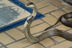 Cobra Siamese Foto de Stock