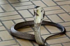 Cobra Siamese Fotografia de Stock