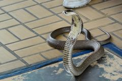 Cobra Siamese Fotos de Stock Royalty Free
