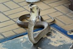 Cobra Siamese Fotografia de Stock Royalty Free