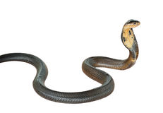 Cobra snake. Isolated on white background royalty free stock photos