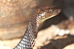 Cobra Snake Royalty Free Stock Photos
