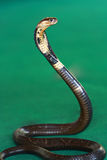 Cobra Snake. With head raised Stock Photo