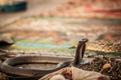 Cobra snake. S guarding an egg in a market square Royalty Free Stock Photo