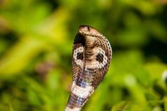 Cobra snake close-up in natural habitats. Sri Lanka wildlife Stock Photo