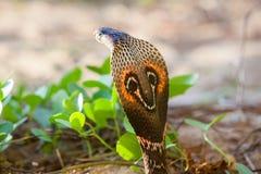 Cobra snake close-up in natural habitats. Sri Lanka wildlife Royalty Free Stock Images