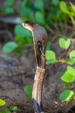 Cobra snake close-up in natural habitats. Sri Lanka wildlife Stock Photography