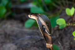 Cobra snake close-up in natural habitats. Sri Lanka wildlife Royalty Free Stock Image