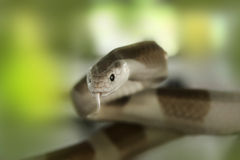 Cobra snake (Elapidae) Stock Photos