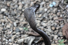 Cobra snake in India Royalty Free Stock Photos