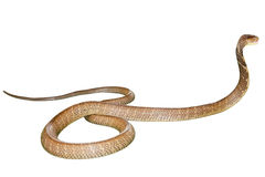 Cobra Snake isolated. King Cobra Snake Ophiophagus hannah, isolated on white background. Side view. Phobia concept Stock Photos