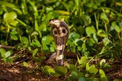 Cobra snake in natural habitats. Sri Lanka wildlife Stock Images