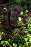 Cobra snake in natural habitats. Sri Lanka wildlife Stock Photo