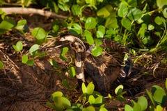 Cobra snake in natural habitats. Sri Lanka wildlife Royalty Free Stock Image