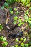 Cobra snake in natural habitats. Sri Lanka wildlife Stock Photos