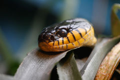 Cobra. Yellow and Black Cobra snake, one of the cobras at reptile section at Burgers Zoo, The Netherlands Stock Photography