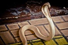 The cobra spread the hood. The albino cobra spread the hood is on the floor and cobra snake is fierce royalty free stock photo
