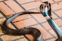 The cobra spread the hood. On the floor and cobra is fierce snake royalty free stock photo
