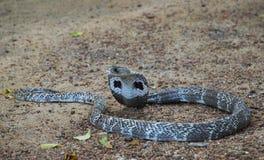 Cobra sulla sabbia Immagine Stock Libera da Diritti