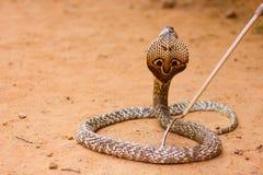 Cobra. Wild brown Sri lankan cobra stock photo