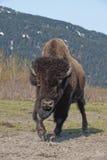Cobrar de madeira do bisonte imagem de stock