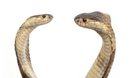 Cobras Royalty Free Stock Image