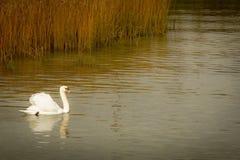 Cobre del otoño en el lago y el cisne Foto de archivo
