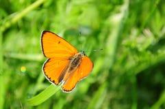 Cobre escaso de la mariposa roja, virgaureae del Lycaena Imagen de archivo libre de regalías