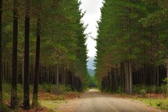 Floresta de Tarawera Fotografia de Stock Royalty Free